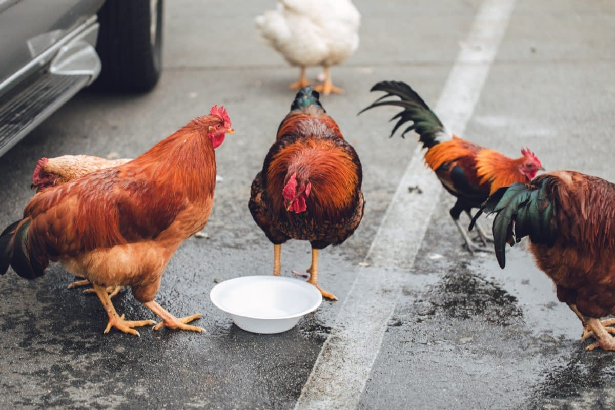 The Definitive Guide To Keeping Backyard Chickens