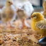 Raising Baby Chickens