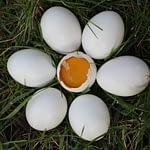 The Best Chicken Egg Incubator
