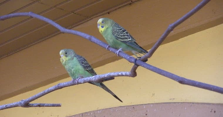 Building an Outdoor Aviary For Parakeets