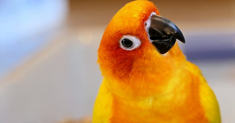 Conure Care And Training