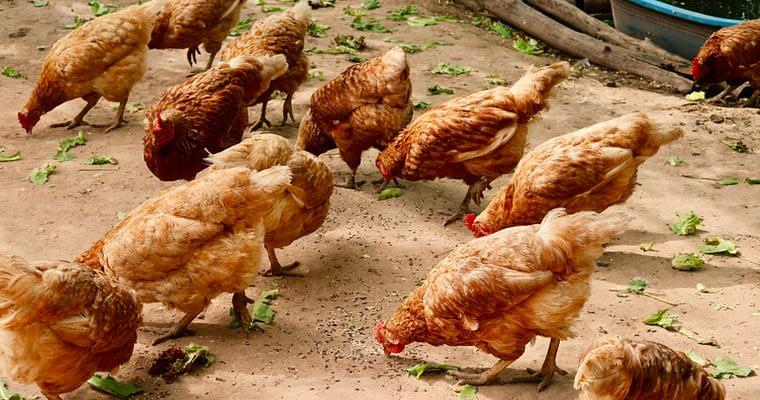 Chicken Coop Design Tips