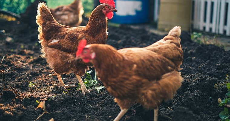 Chicken Coop Ideas and Tips